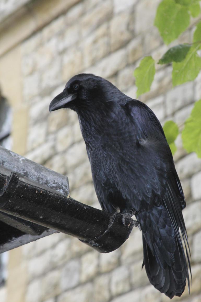 Famous Ravens - London