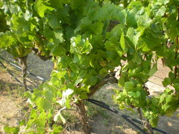 Grapes on the vine at Nicholson Ranch in the Sonoma Valley. , Joshua M - August 2015