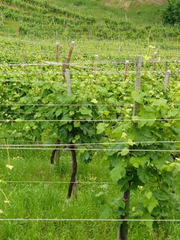 Getting close to the vines along the Prosecco wine road., Kenton W - July 2008
