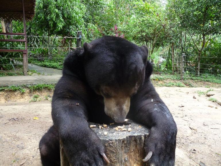 Sun bear at Deerland, Kuala Lumpur - Kuala Lumpur