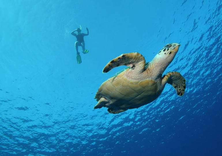 Turtle and snorkeler - Oahu