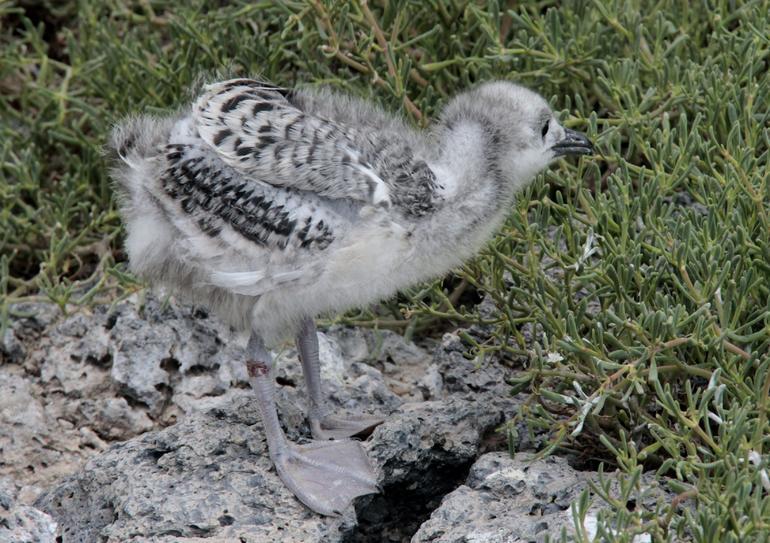 baby bird - Galapagos Islands