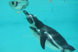 Penguin playing in the water, Bandit - August 2015