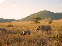 Elephants at sunset, Pilanesburg, Sun City, Bophutatswna, South Africa - May 2011
