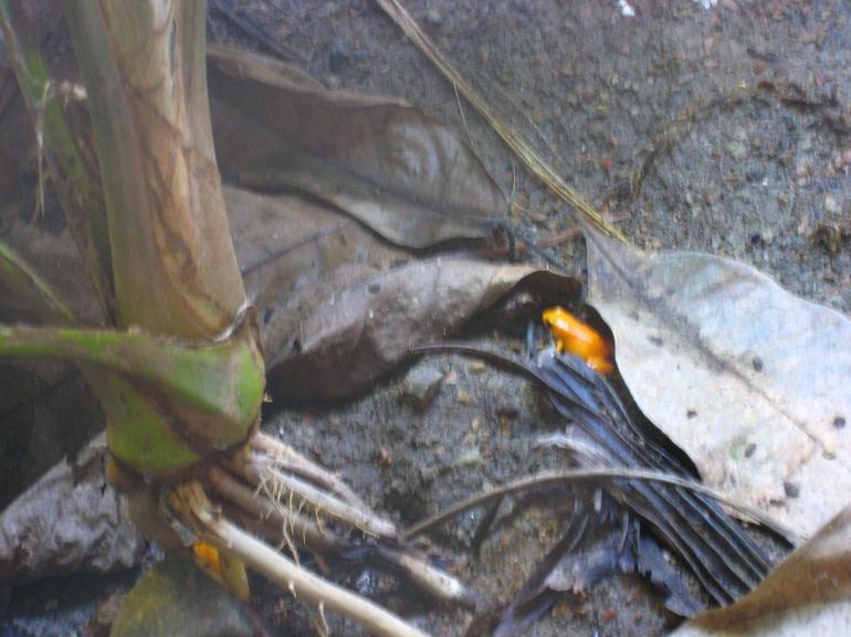 Golden Poison Dart Frog - San Francisco