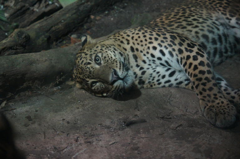 tigre-zoo-parc-de-zingapour