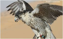 Amazing tour and close encounter with the falcons , Petru Rosenthorn - April 2015