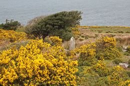 Along the west of the Ring, gorse brightens the fields. , Natalie S - August 2016
