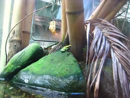 More frogs in the rainforest habitat - November 2009
