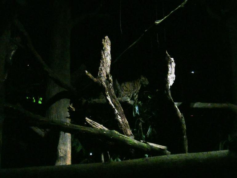 Night Safari: tiger - Singapore