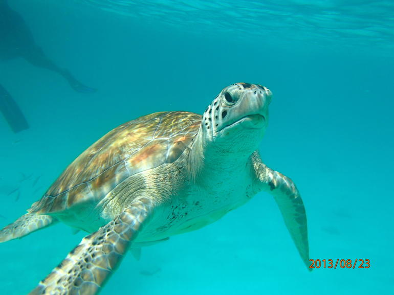 Sea Turtle - Barbados