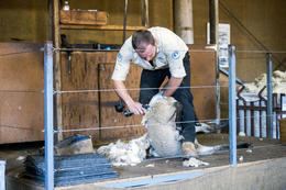Sheep shearer , Clifford R - August 2014