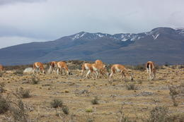A herd of guanacos grazing, Bandit - December 2016