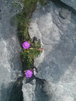 There were tons of cool flowers breaking through the crevices in the Burren., kellythepea - July 2014