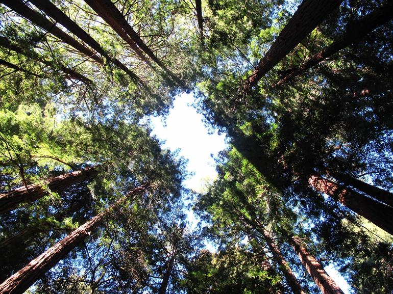 Giant Redwood trees - San Francisco