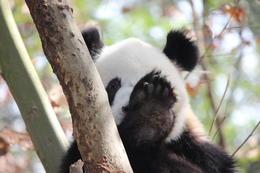 Shy panda, Bandit - December 2013