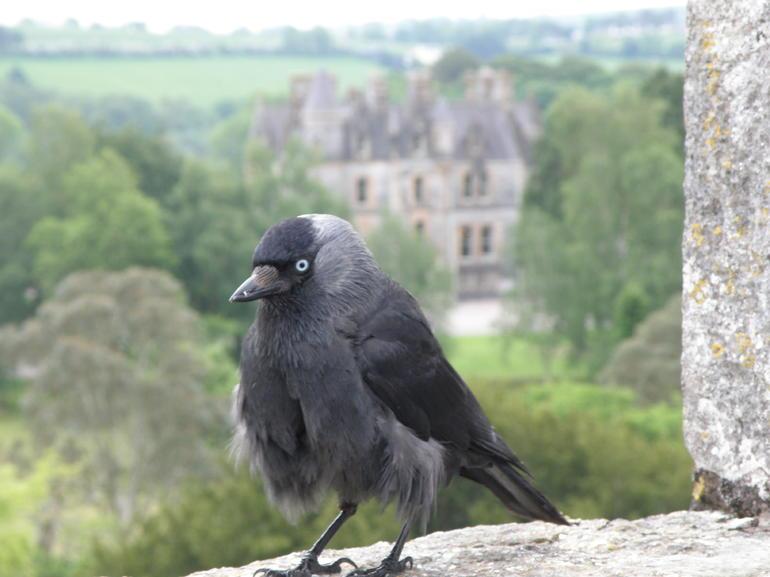 oiseau-haut-de-chateau-blarney