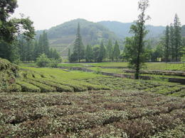 Tea plantation in Hangzhou., Julie - June 2012