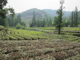 Tea plantation in Hangzhou., Julie - June 2012