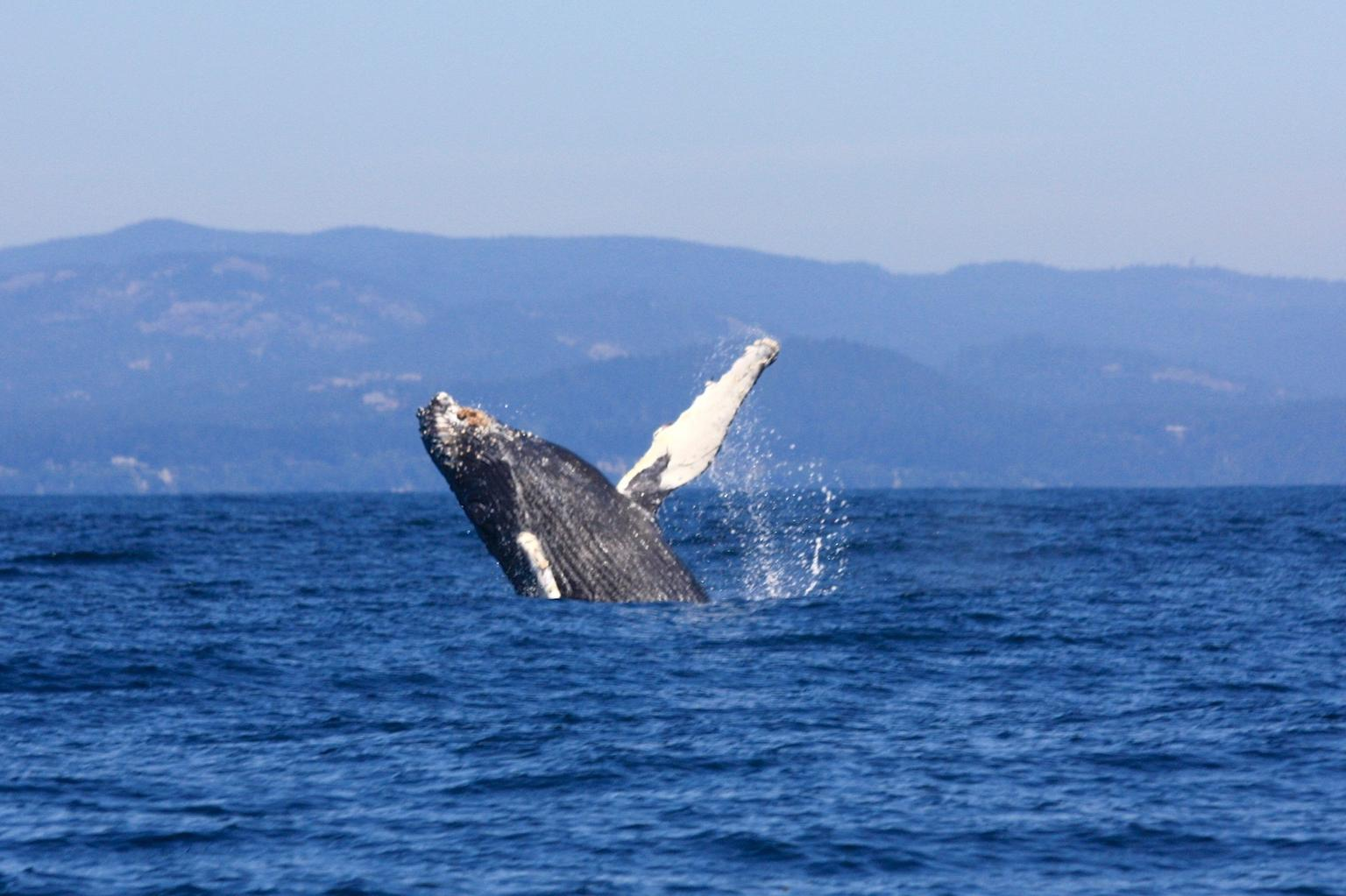 MÁS FOTOS, Whale Watching Tour in a Zodiac Boat in Victoria