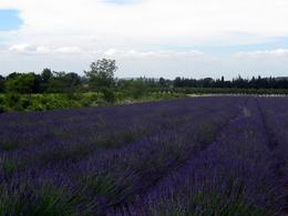 Lavender - July 2010