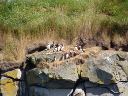 See all the Puffins on shore. , Anita L - September 2017