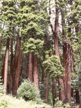Giant Redwoods, Jennifer D - May 2010