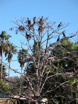 Cormorants on tree. - February 2009