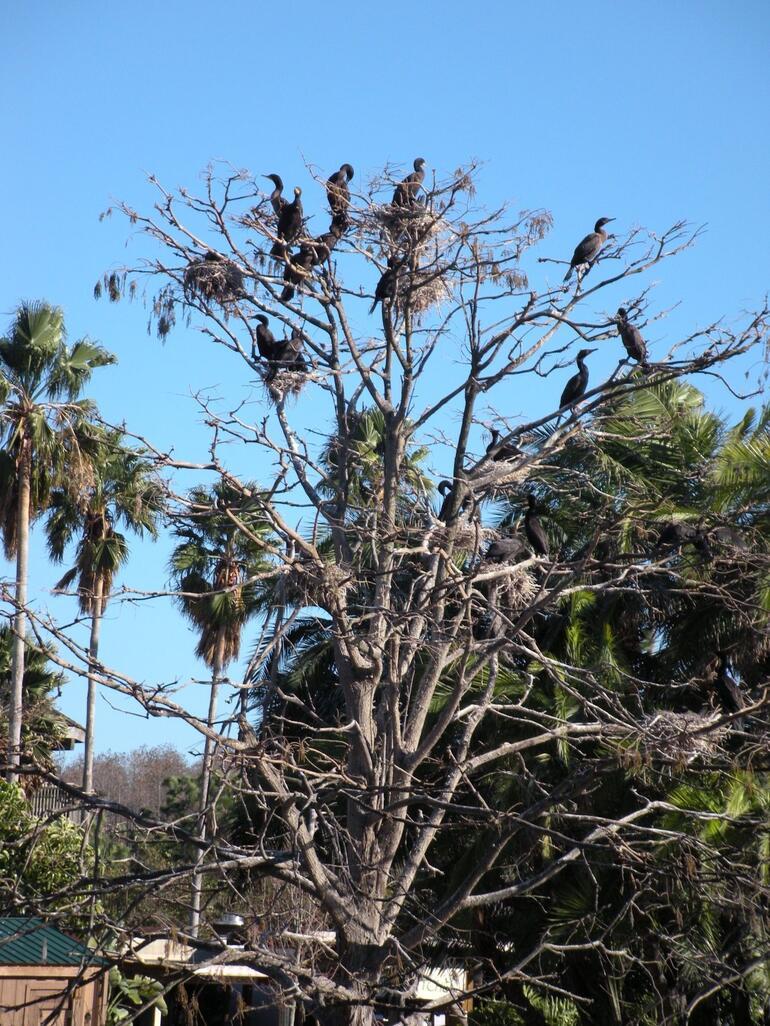 Cormorants on tree - Orlando