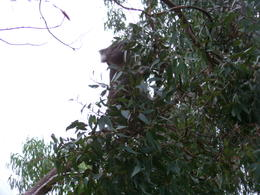 Koala in a tree , Karen B - June 2011