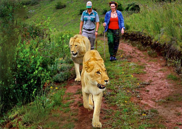lionwalk2 (2).jpg - Cape Town