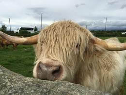 Highland cattle , Taryn - September 2016