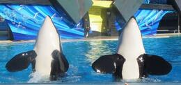 Watching the Shamu show just before get soaked. , drealone - November 2013