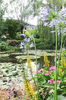 Monet water garden , Annette A - July 2016