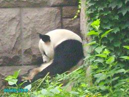 The Panda appears to be taking a rest between eating and playing. - August 2010