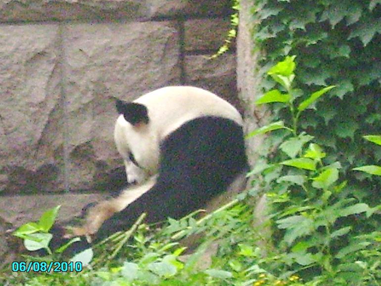 Panda Resting - Beijing