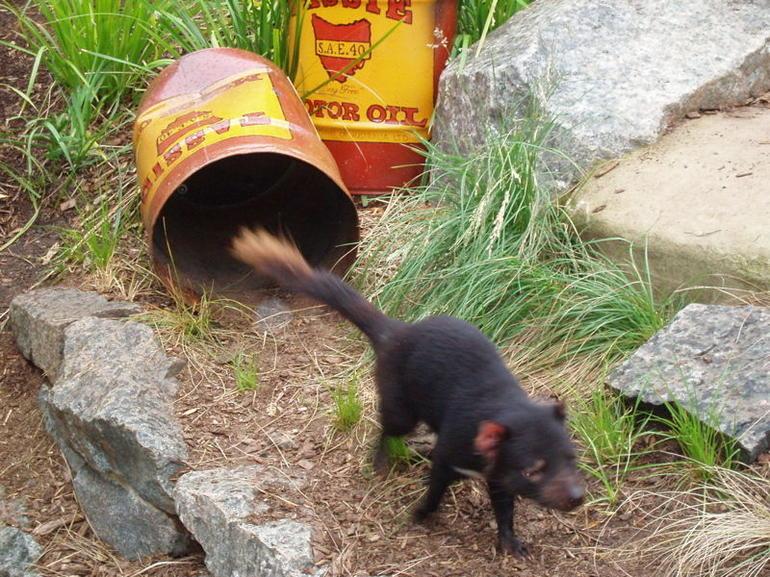 Tasmanian Devil - Sydney