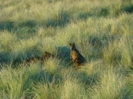 One of many wallabies at dusk , John K - September 2014