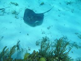 Stingray I photographed at the coral reef. , BlackfootDaisy - April 2017