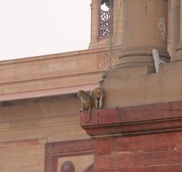 Monkeys at the Lutyens-designed government buildings near the President's R , Bernard F - December 2017