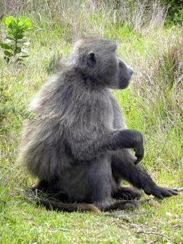 A troupe of baboons was on the side of the road near the turn off to Cape Point., Kathi J - December 2009