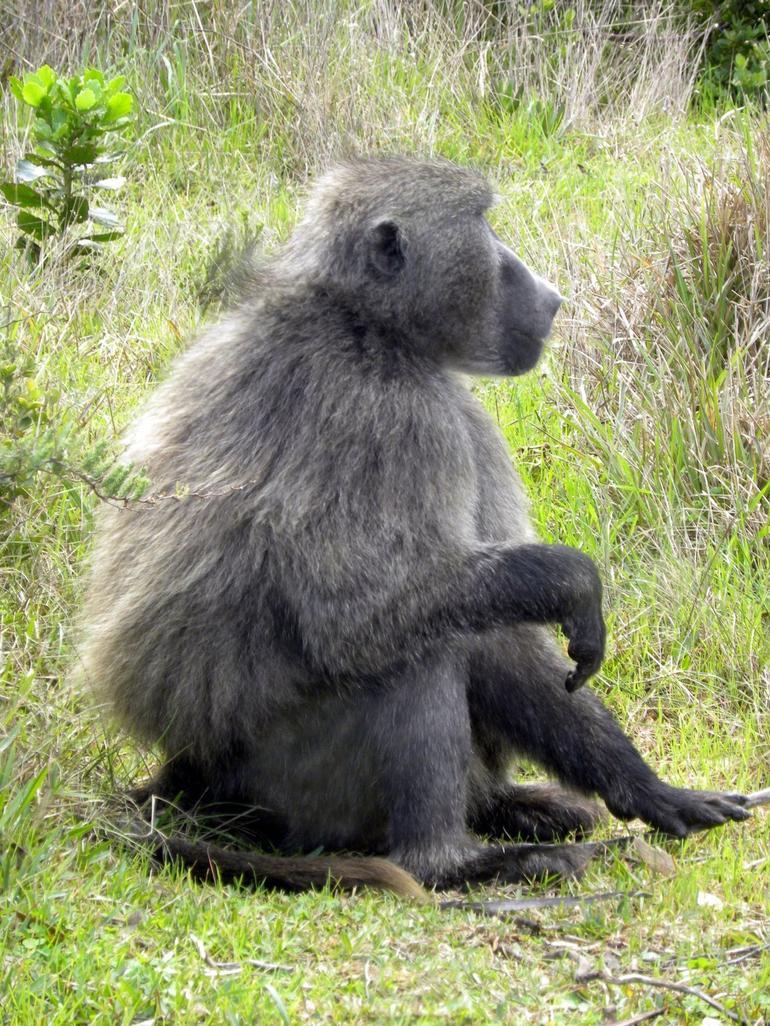 Baboon near Cape Point - Cape Town