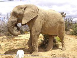 Bull elephant - May 2016