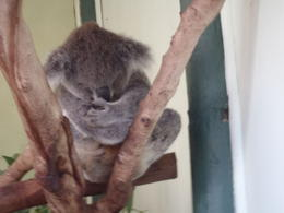 Have you ever seen a koala in a meditating posture? Here is one! , Pin - May 2011