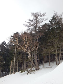 A little tree stuck in the snow on Mount Fuji. , Christina L - March 2015