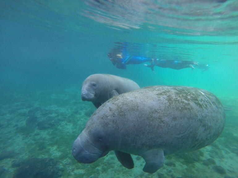Crystal River Manatee Snorkeling Tour with a Professional Guide