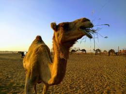 Camel at a Camel farm , Matthew R - November 2017