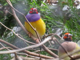 Featherdale Wildlife Center-Red-headed finch. , Jay - January 2018