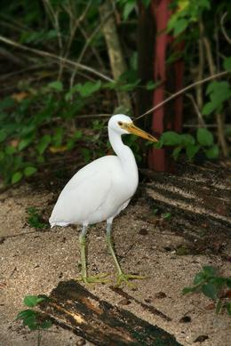 Heron on the Green island. Wonderful to see the wild life lack of fearness of the tourist., Tunde K - March 2010