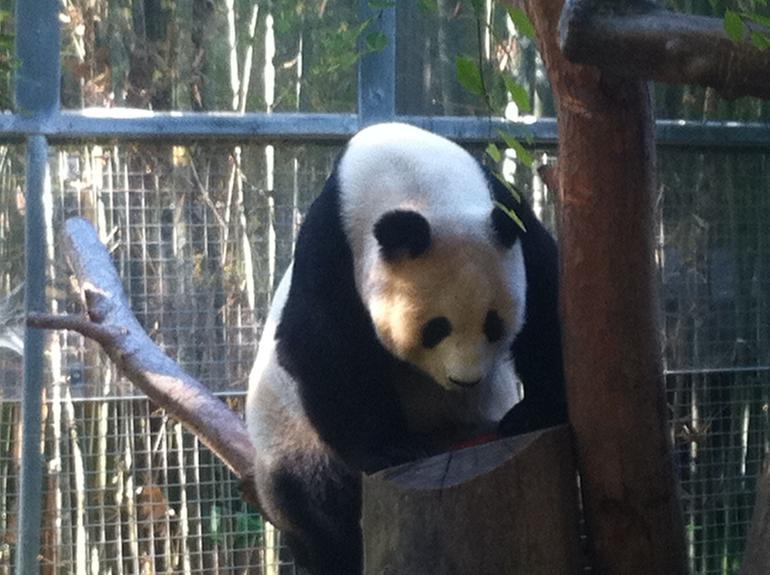 Bai Yun at San Diego Zoo - San Diego